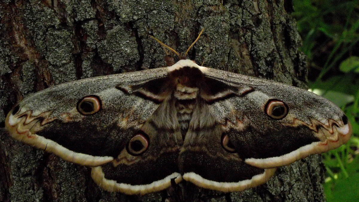 бабочки фото ночные