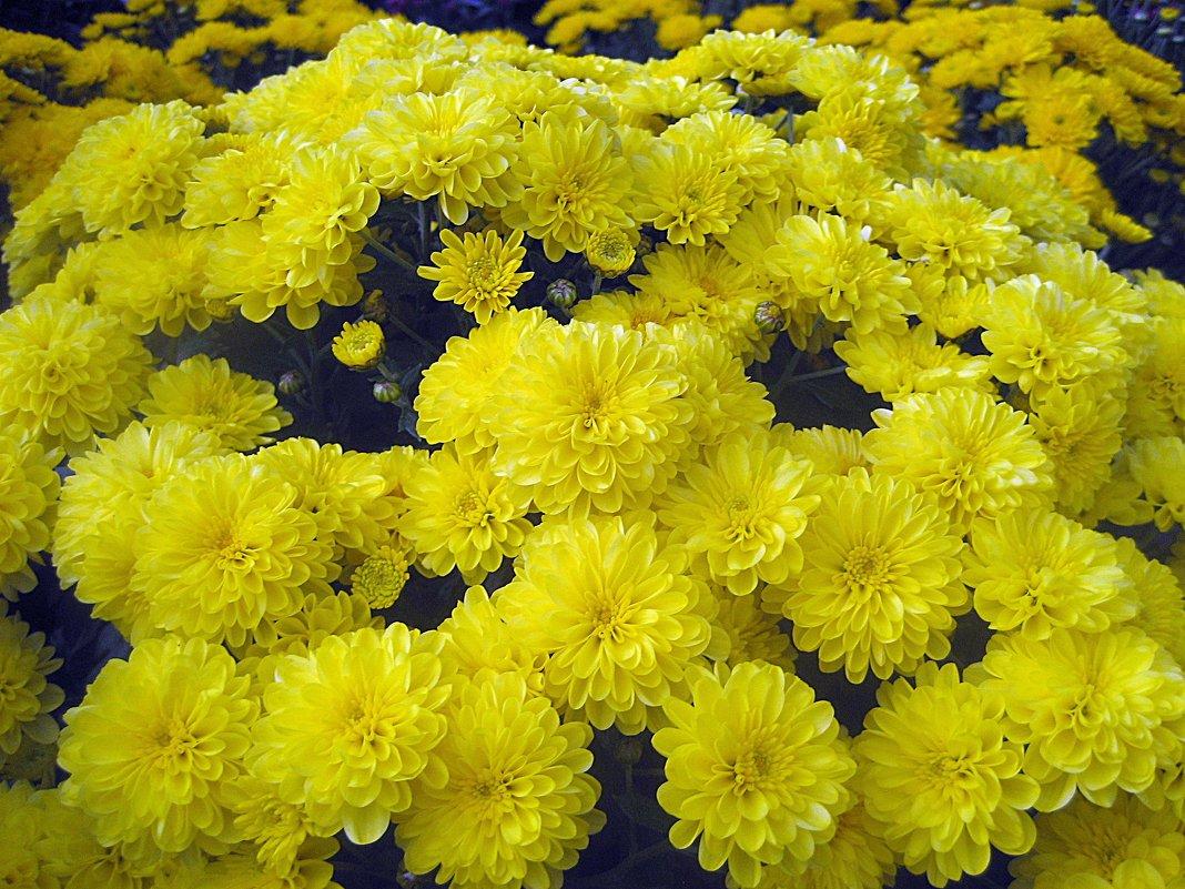 Жёлтая хризантема - laana laadas