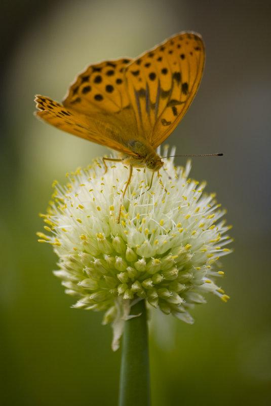 Бабочка на цветущем луке - Ольга Гурьянова