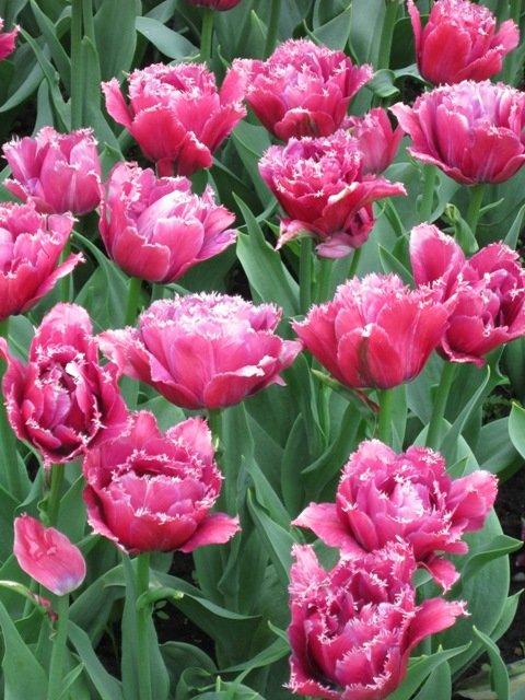 Цветы тюльпаны пионовидные