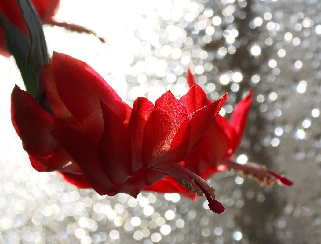 Скоро к нам декабрь придёт с длинными ночами...,а пока цветок расцвёл яркими лепестками... - Александр Попов
