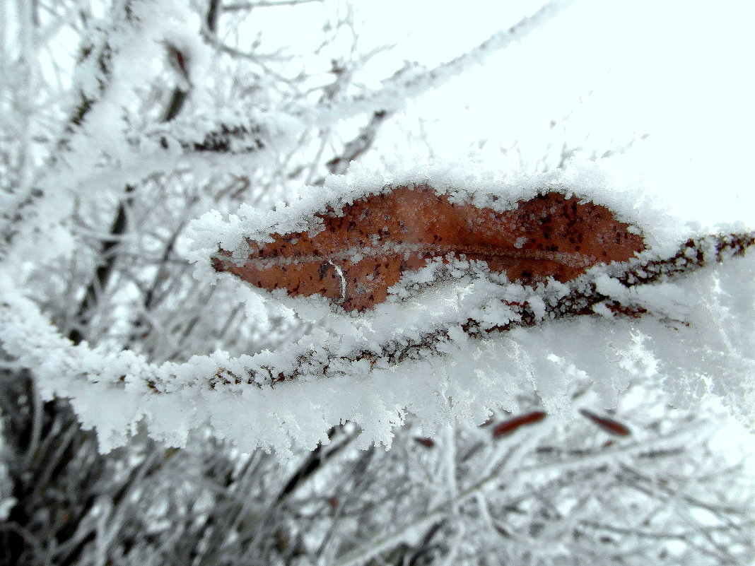Лист в снежной колыбели. - nadyasilyuk Вознюк