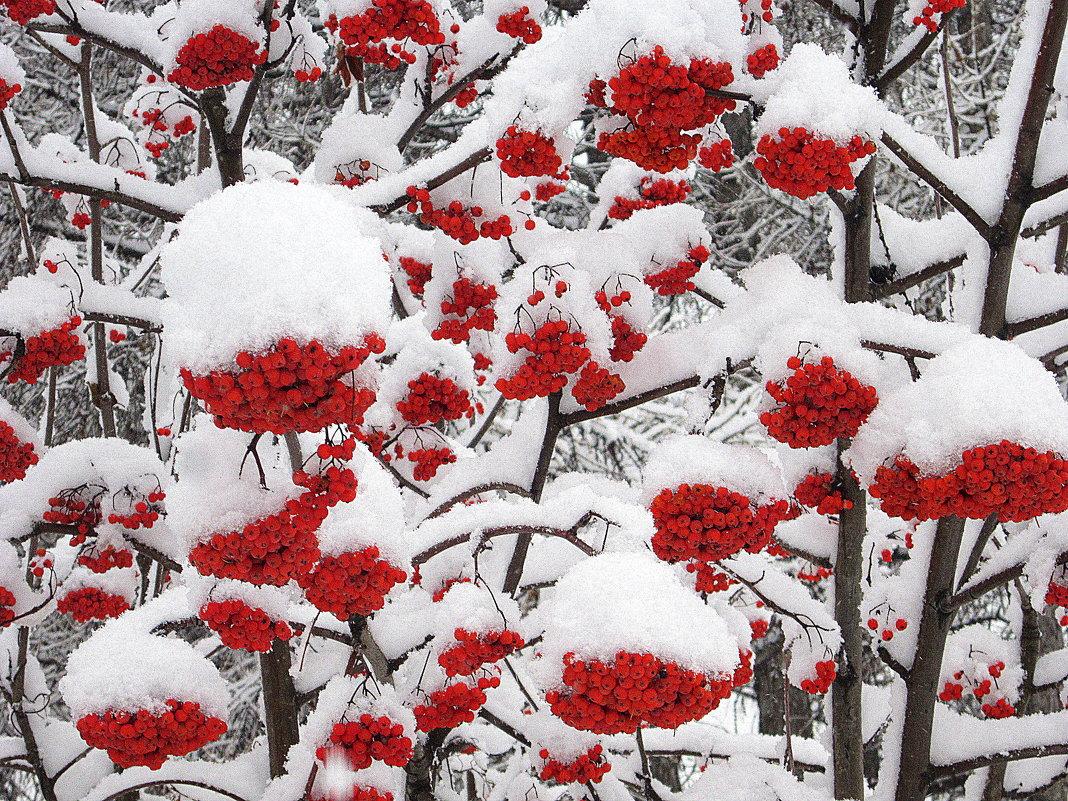 Рябина горит среди белых снегов. - Мила Бовкун