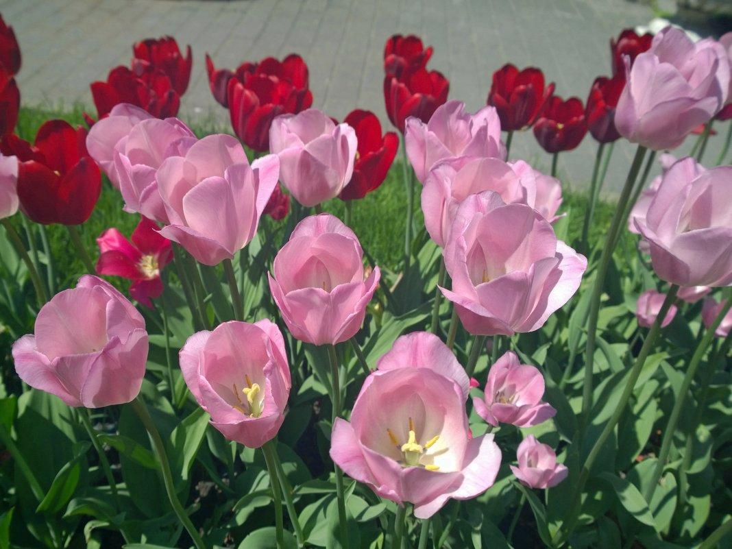 Тюльпаны - Наталья (Nata-Cygan) Цыганова