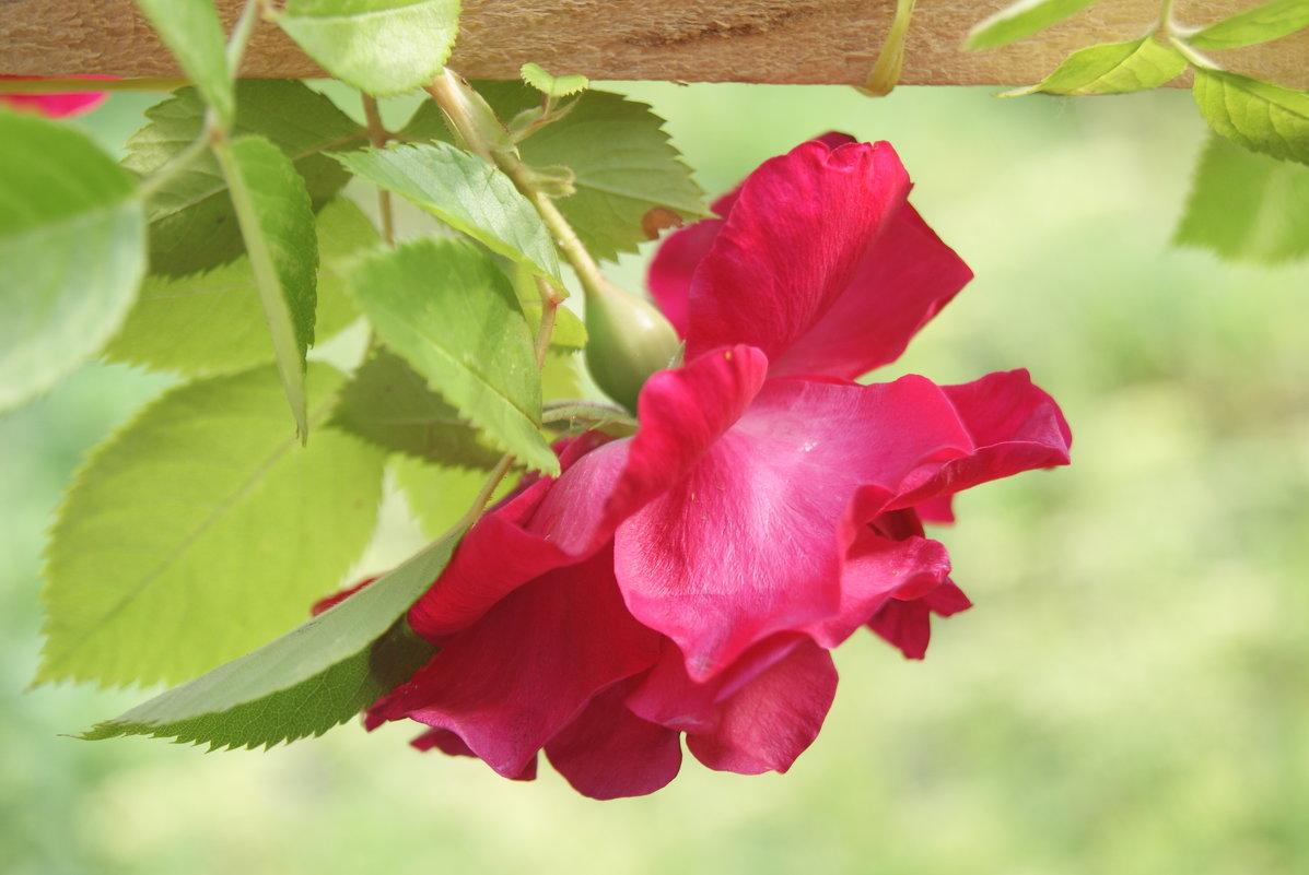 роза красная - Тамара