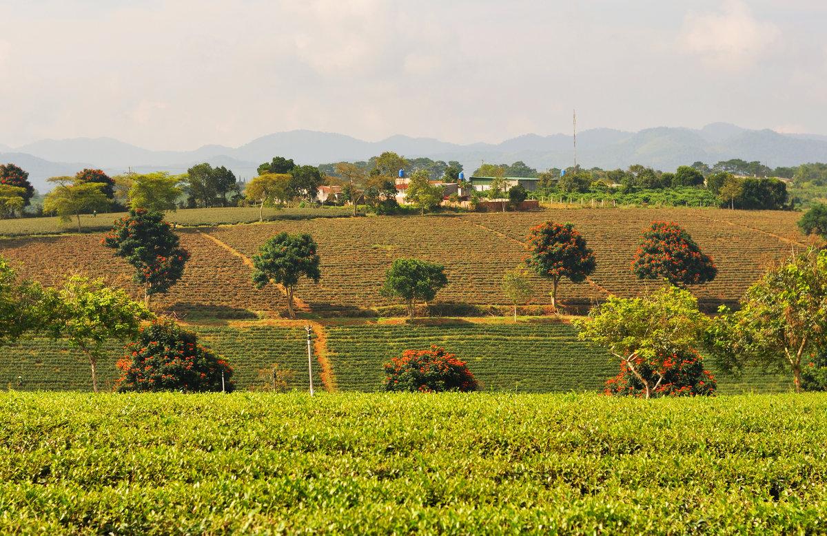 Чайные плантации . Вьетнам. - Anna Petry