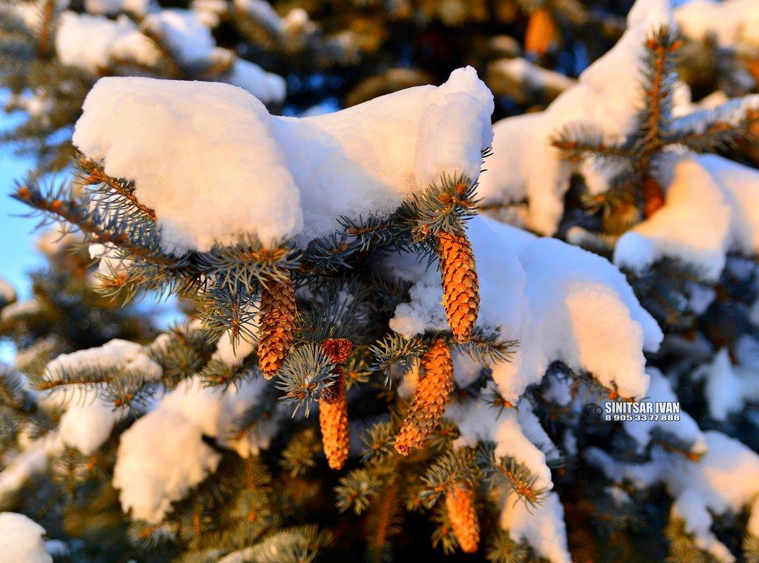 Снежные шишки - Иван Синицарь