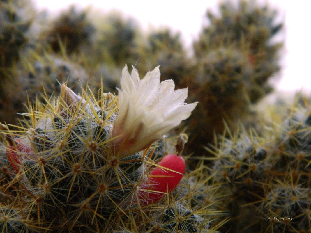 Цветок кактуса - Александр Тарасенко
