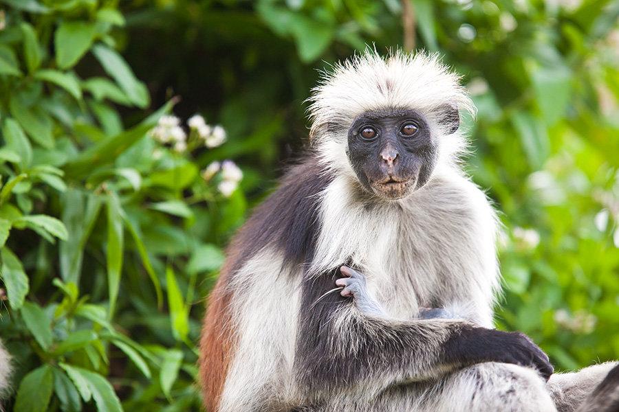 ОБЕЗЬЯНА КОЛОБУС (ЗАНЗИБАР) - Volmar Safaris