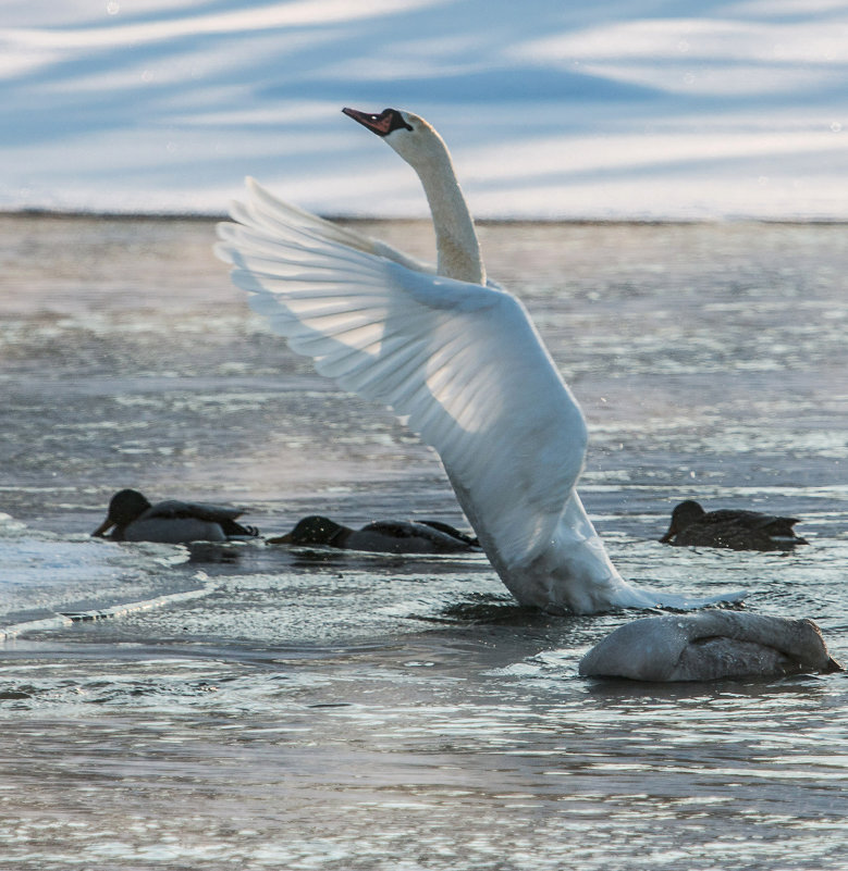 лебедь - Александр Есликов