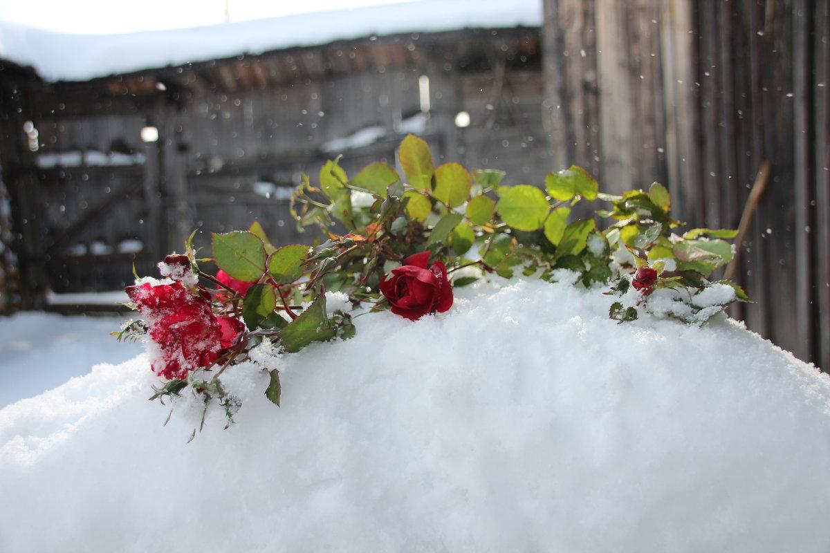 розы в снегу - Елена