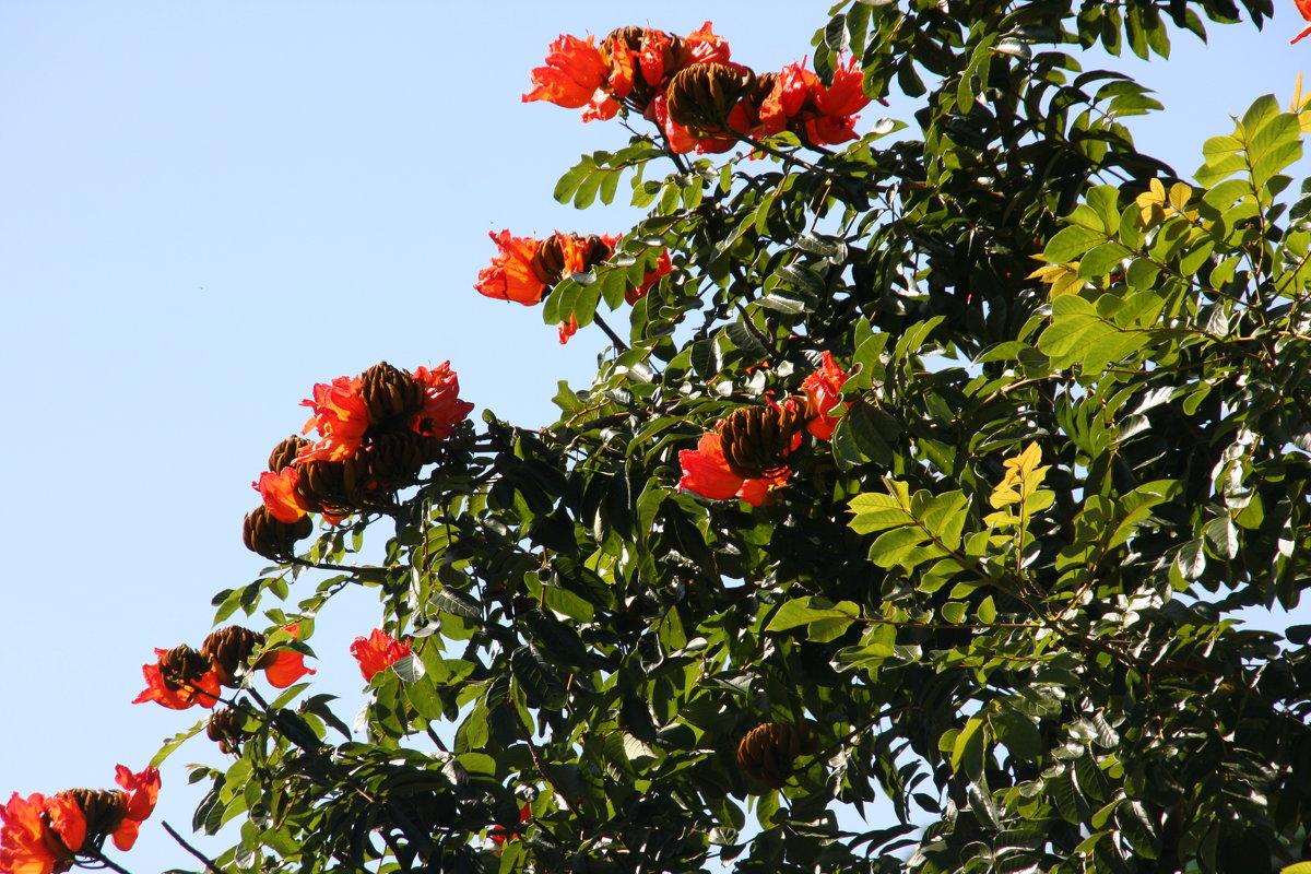 То же что тюльпанное дерево в домашних условиях 833