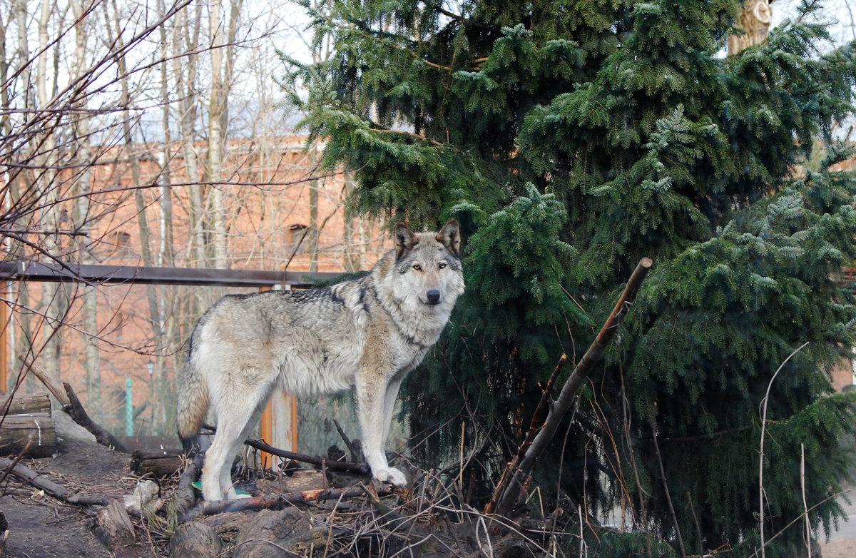 Волчица - Oksana K