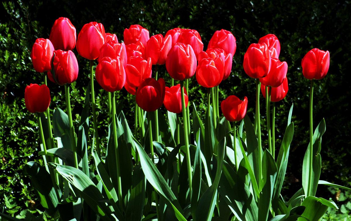Тюльпаны - Alexander Andronik