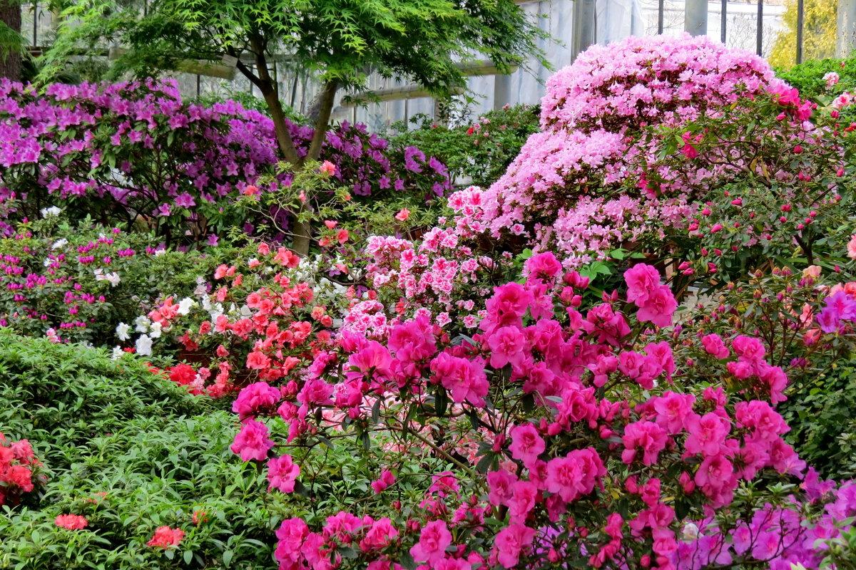 Цветут азалии - Светлана