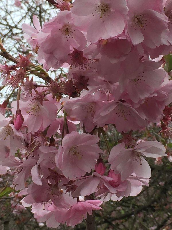 Sakura. - ludmila Varum