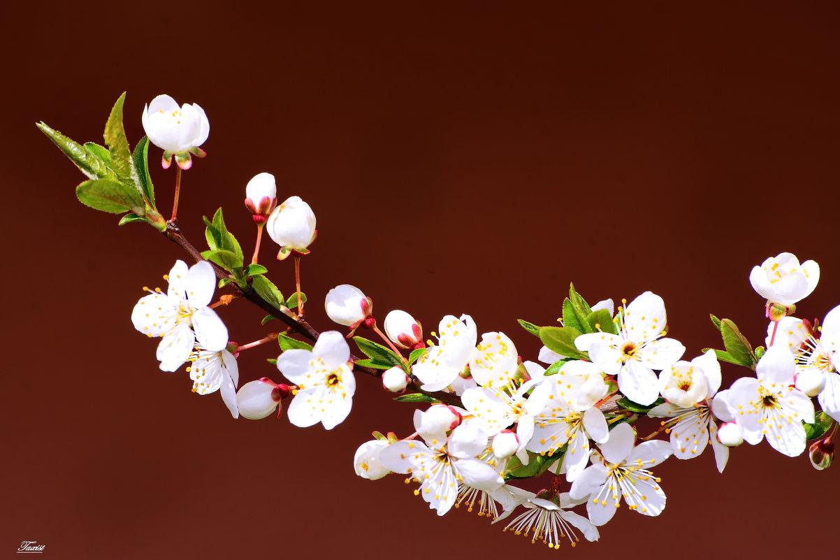 Вишня цветёт - Paparazzi