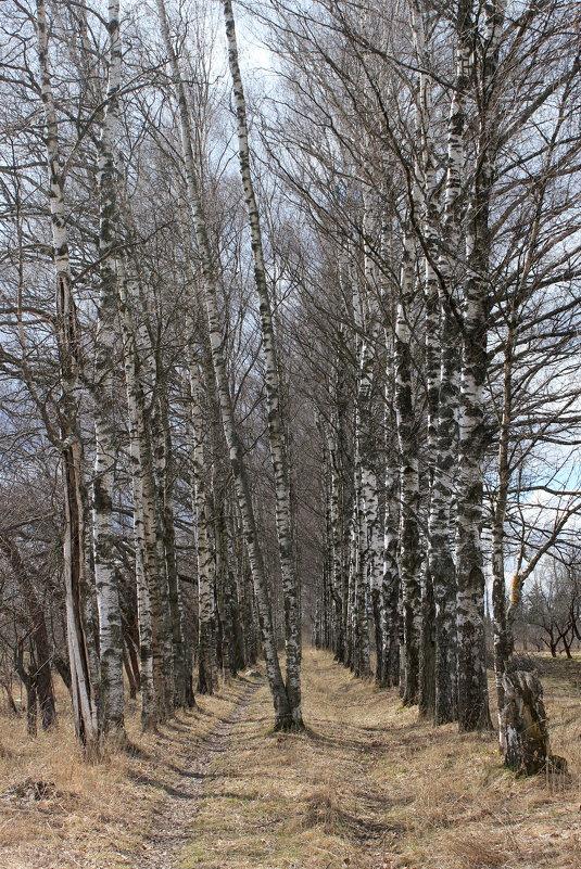 Березки весной - Наталья Лунева