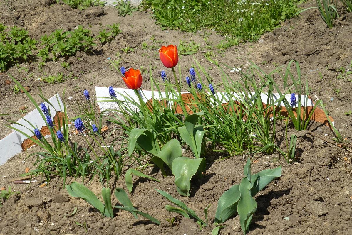 Первые тюльпаны у дома... - Наиля