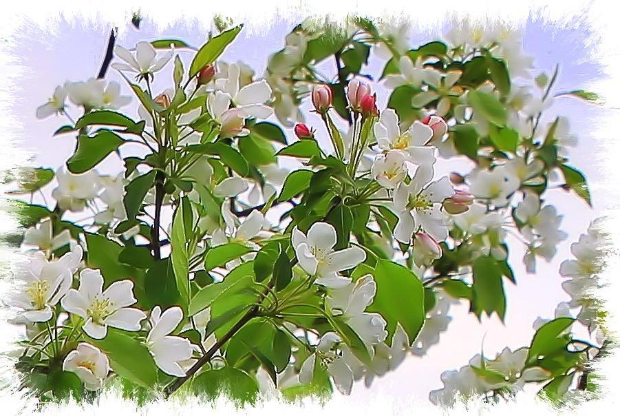 """""""Яблони в цвету - весны творенье...."""" - Валентина ツ ღ✿ღ"""