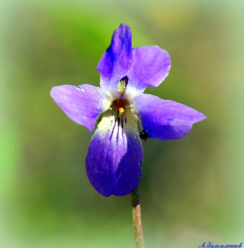 Весны цветенье - Андрей Заломленков