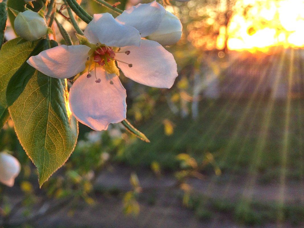 цветение груши - Владимир