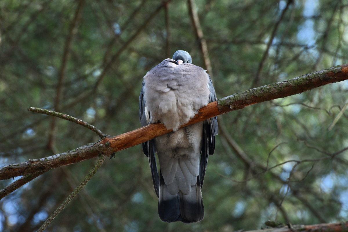 вяхирь - linnud
