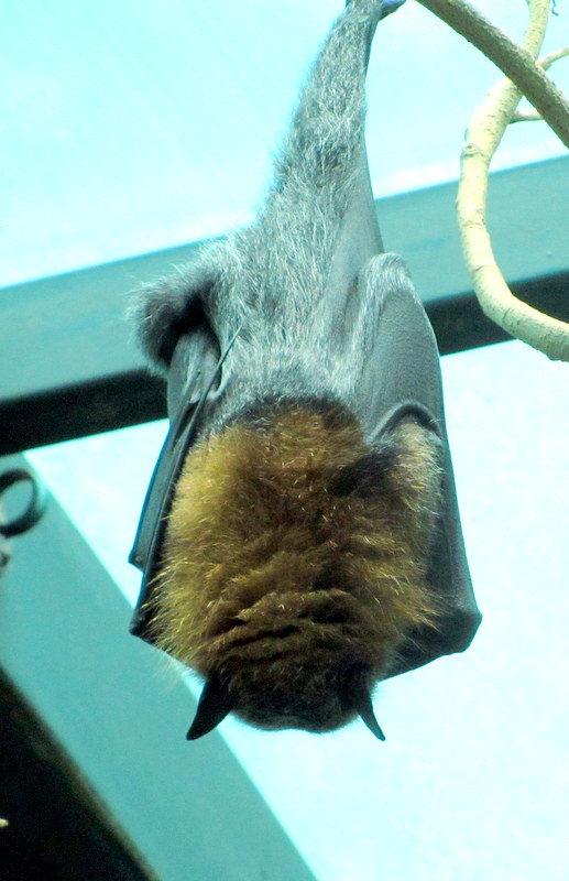 Летучая мышь из Австралии - Герович Лилия
