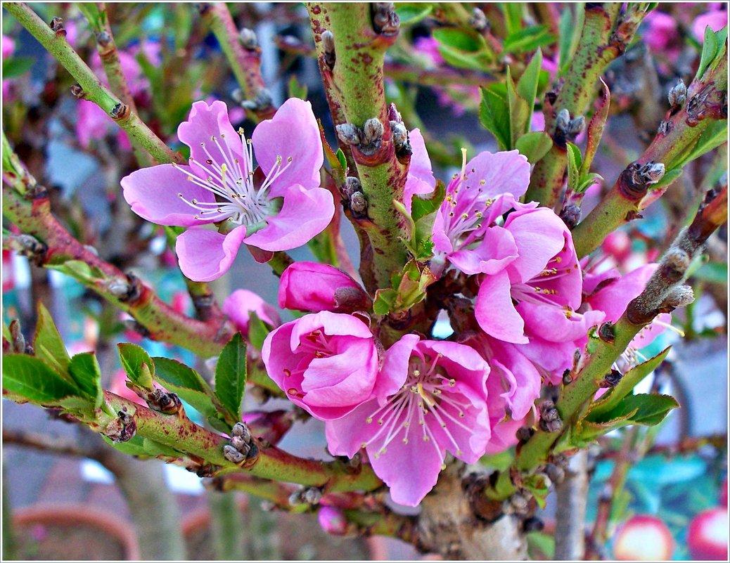 Цветы персика. - Валерия Комова
