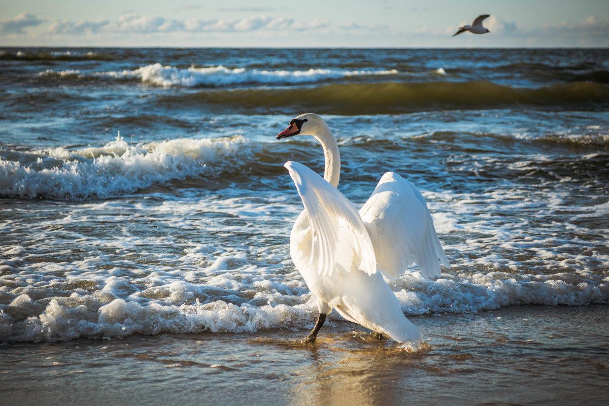 white swan - Oleg K