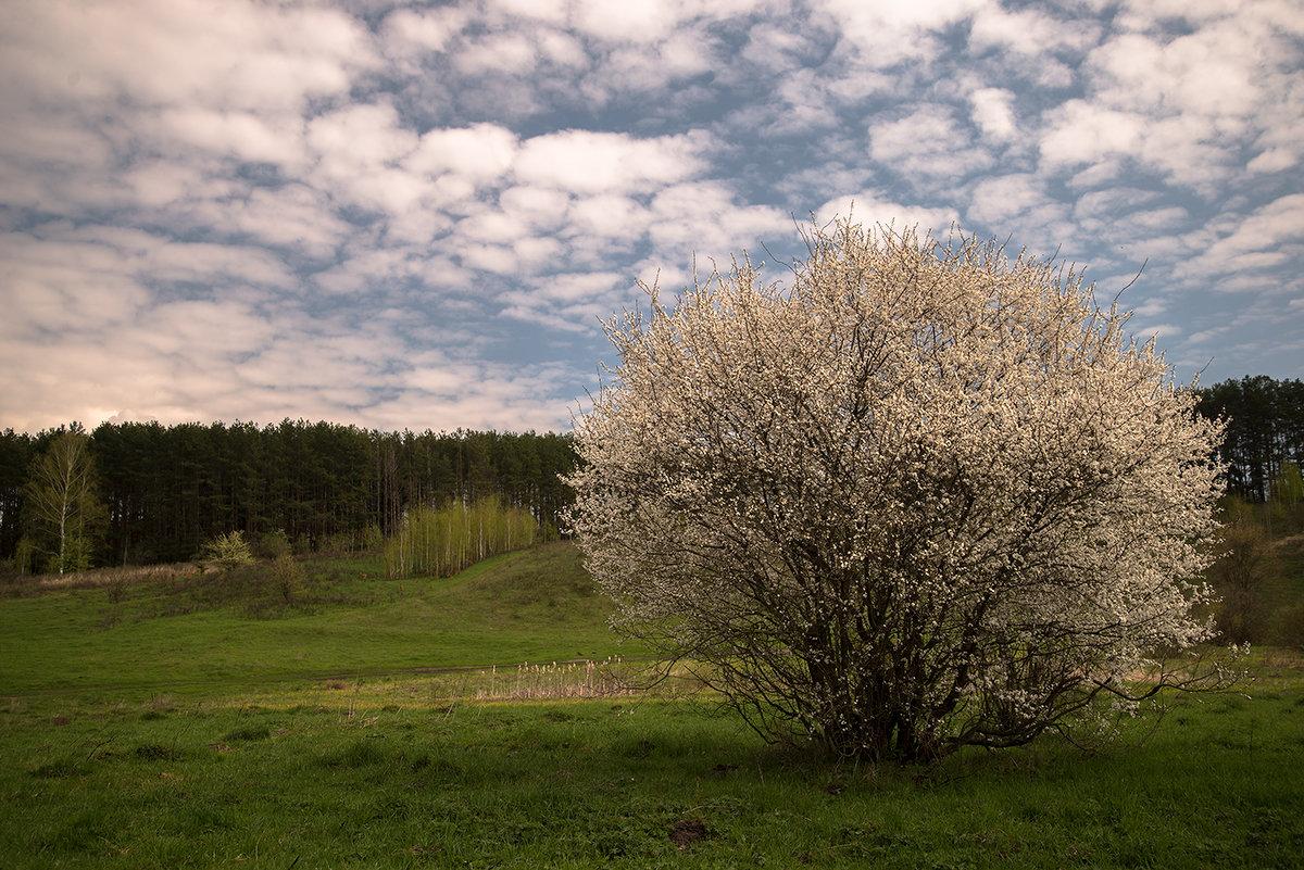 Цветёт вишня - Тамара Цилиакус
