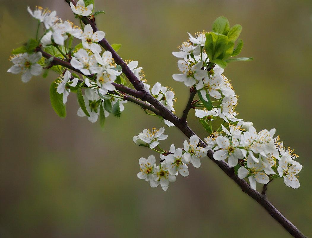 вишни цвет - Ирина ***