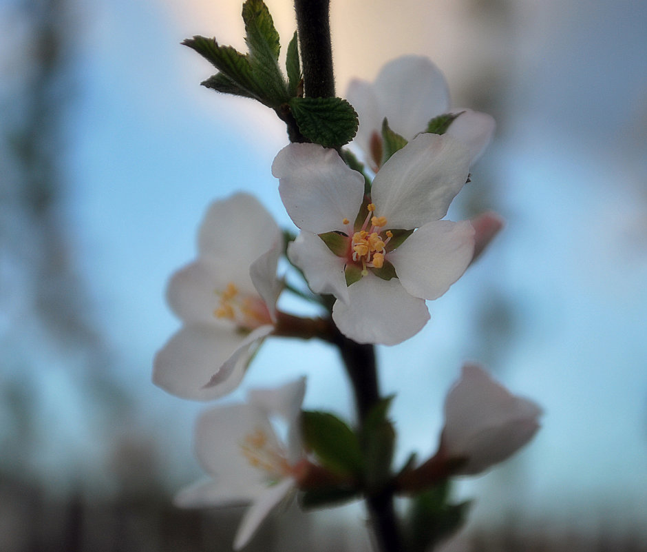 Цветок войлочной вишни - Николай Масляев