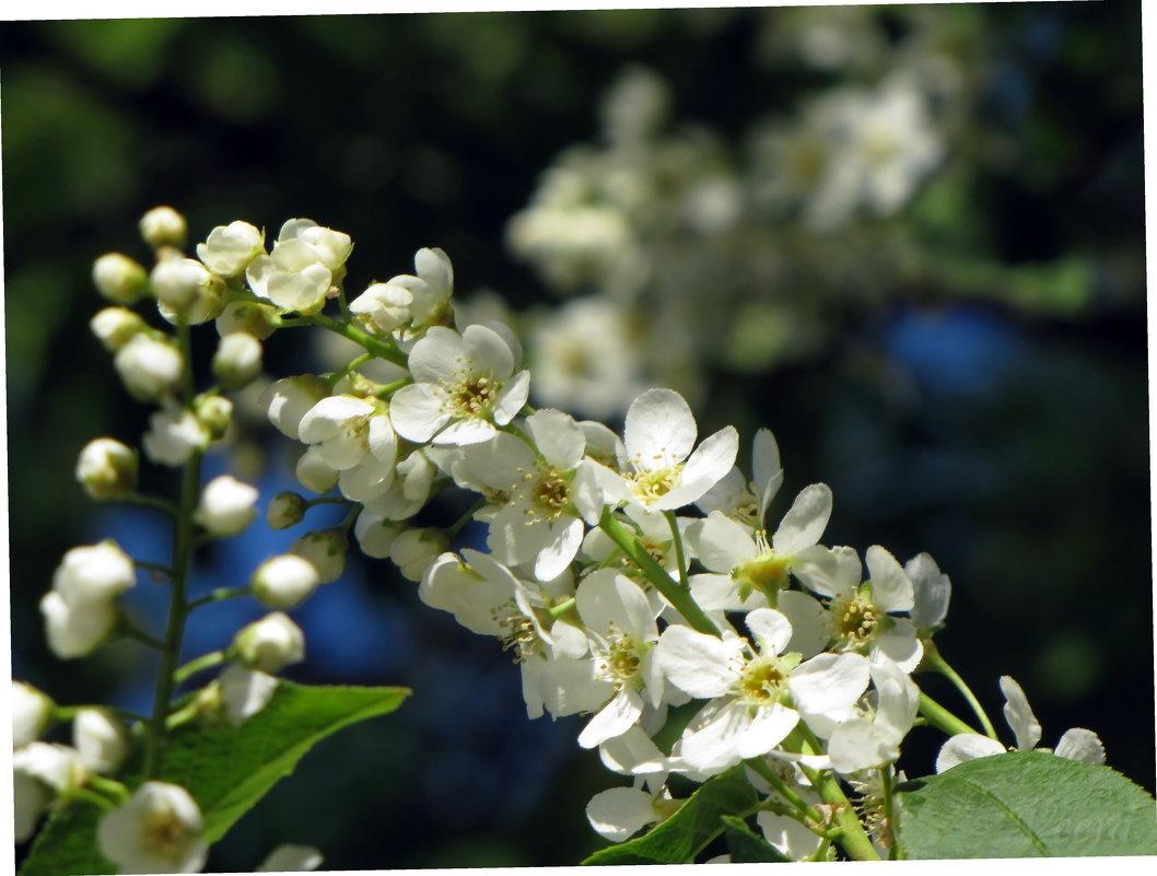 Черемухи цвет - veera (veerra)
