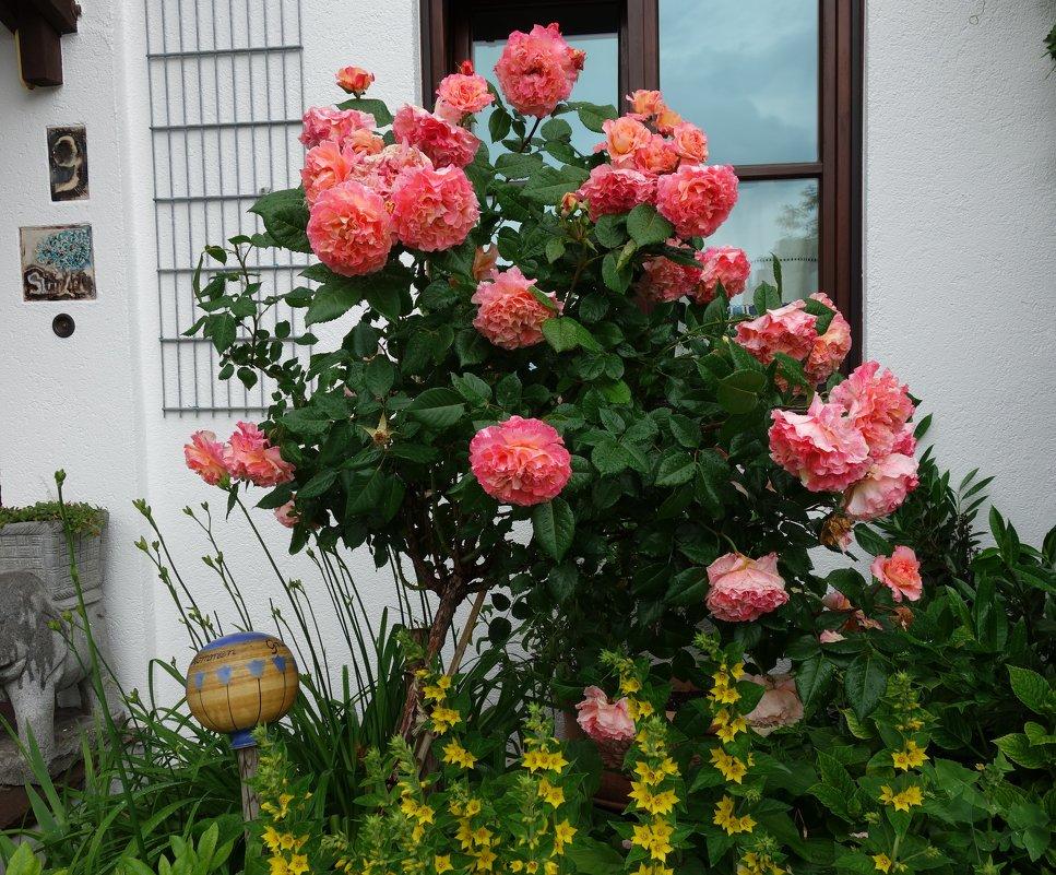 Розовый куст под окном... - Galina Dzubina