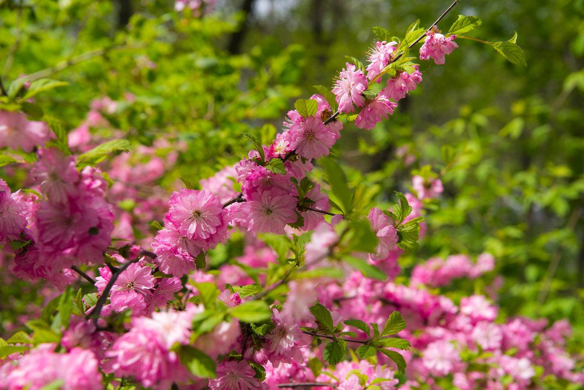 весеннее цветение - Дмитрий