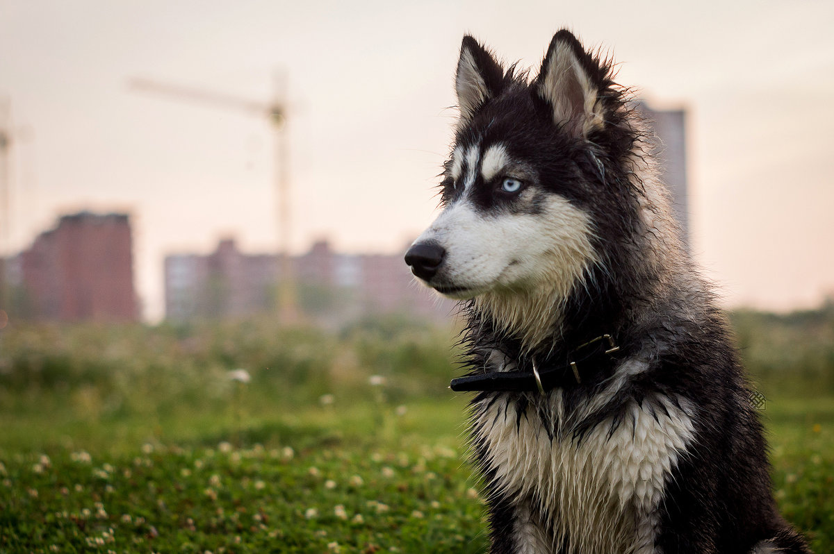 Локи - Хась Сибирский