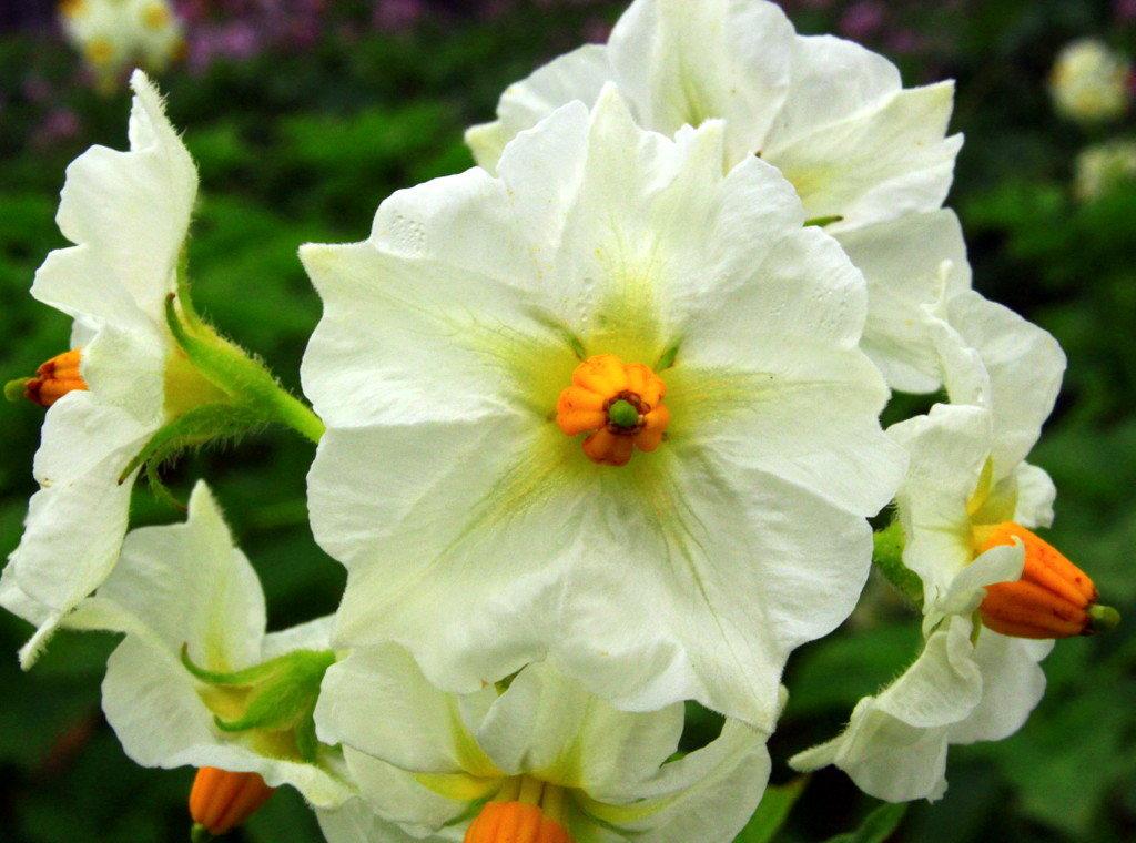 Какие дивные цветы!! - Галина Полина
