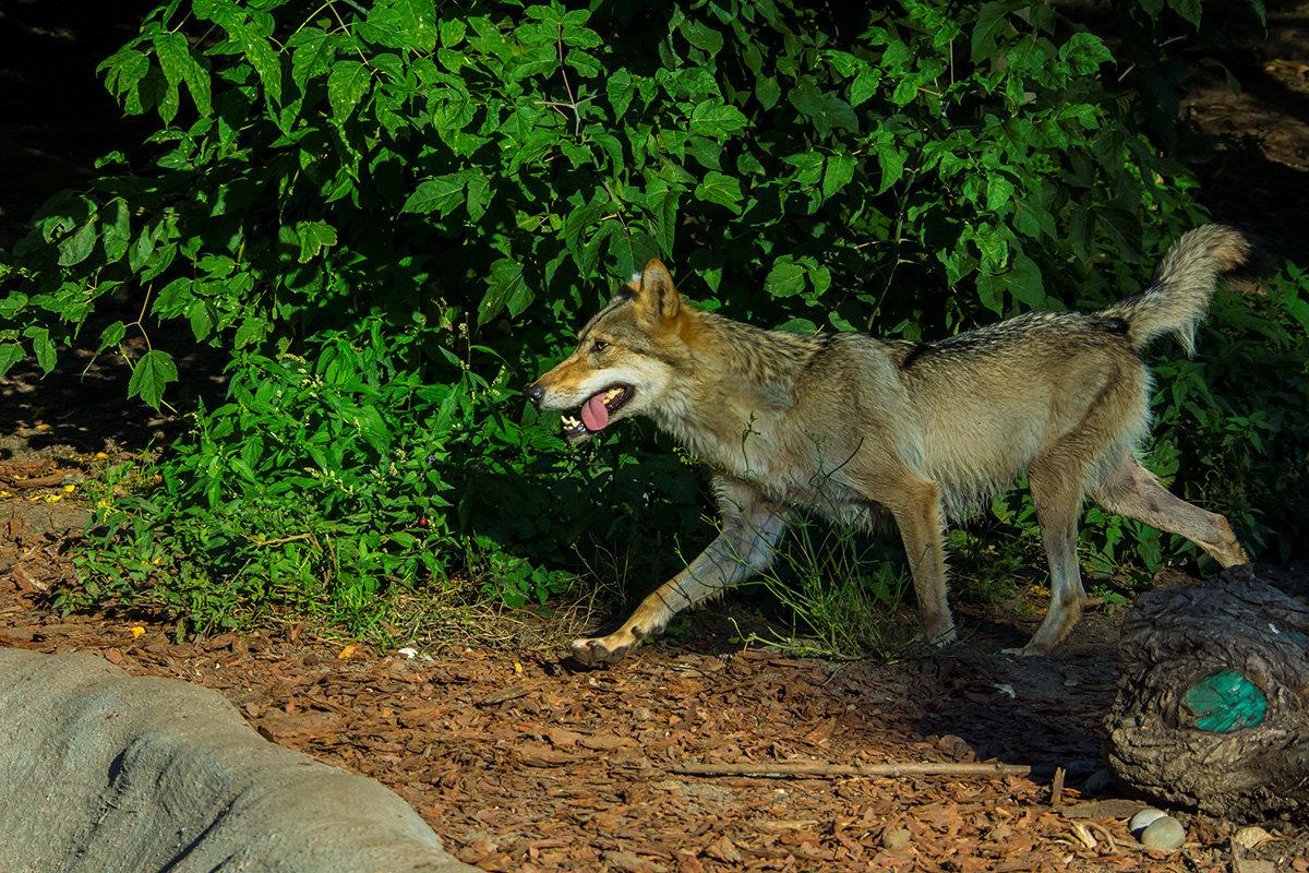 Я злой и страшный серый волк! - Игорь Герман