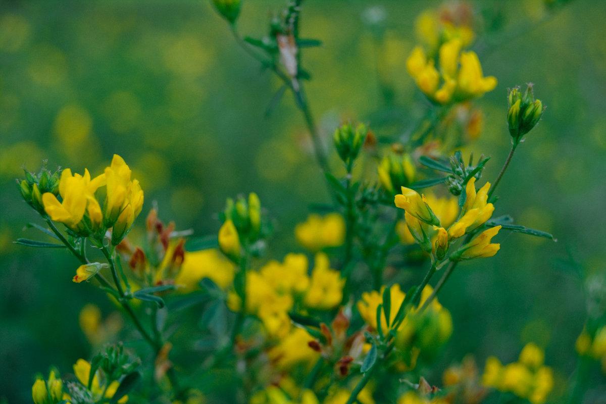 полевые растения - Света Кондрашова