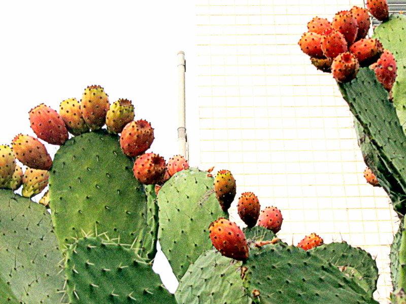 Цабры ( плоды кактусов) - Герович Лилия