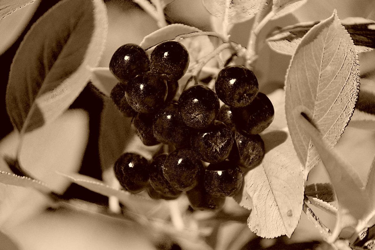 Рябина ,черноплодная. - Лариса Журавлева