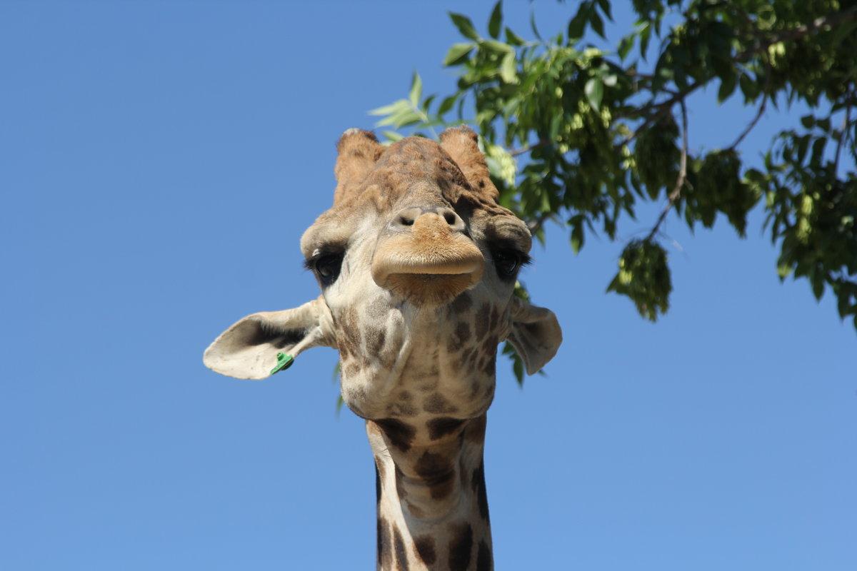 жираф - Сергей