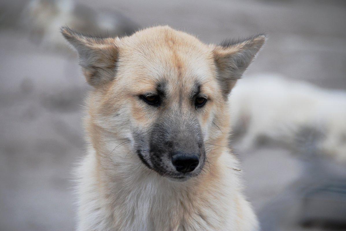 Ездовые собаки Арктики - Tatiana Belyatskaya