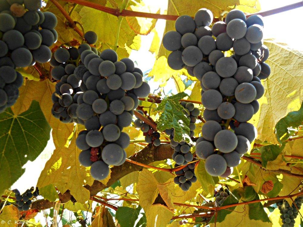 Дачний виноград - Степан Карачко