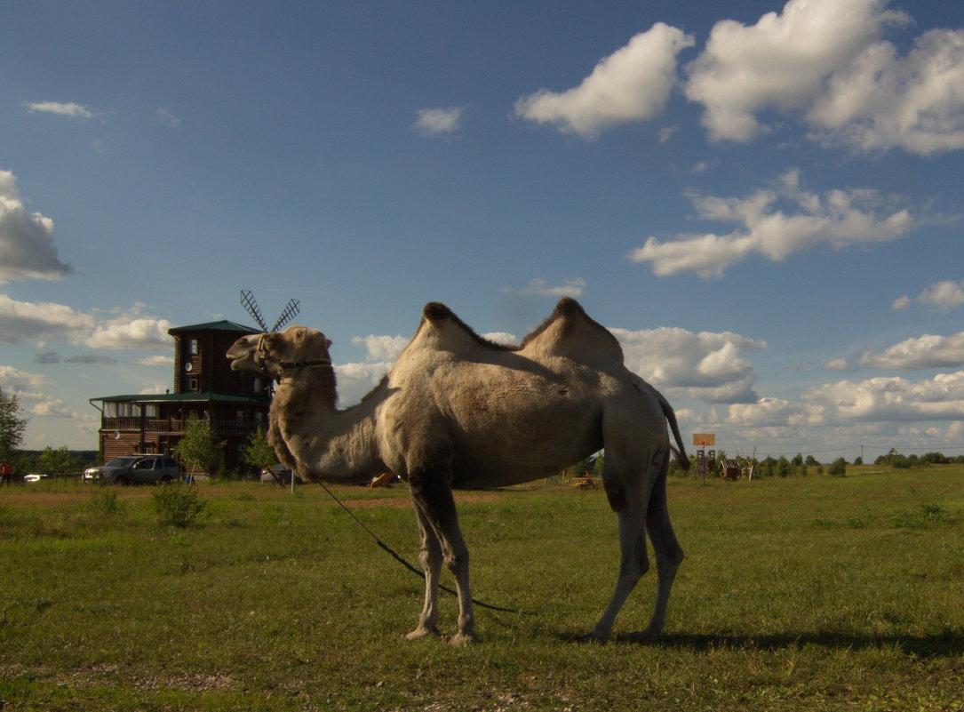 Веслевская верблюдица - Александра