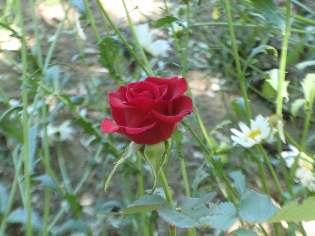 Роза - Владимир