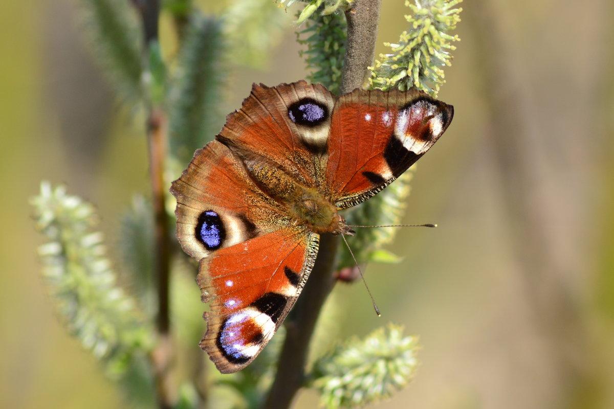 Бабочка крапивница - Валерий Подобный