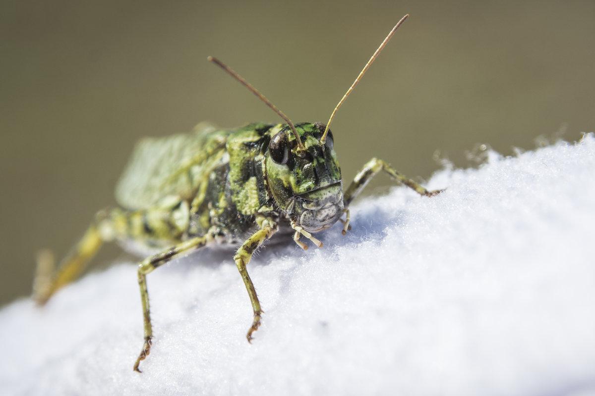 Grasshopper - Sergey Oslopov
