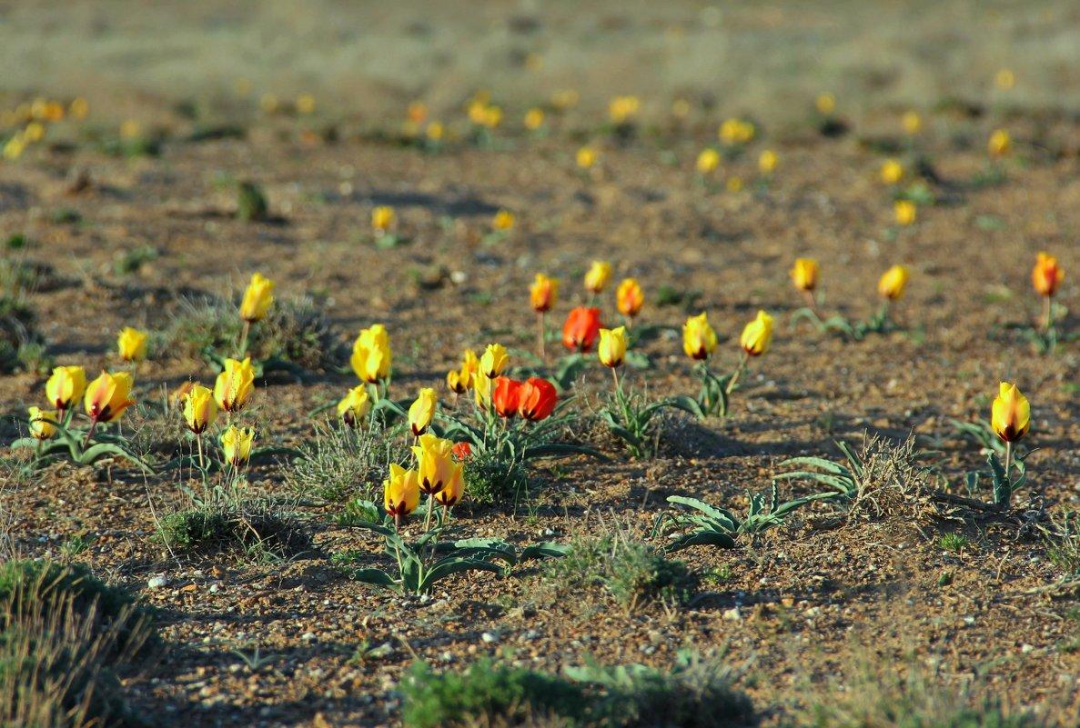 Степные тюльпаны - Алла